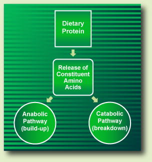 Dietary Protein Metabolism